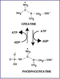 کراتین فسفات1